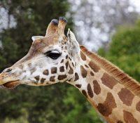 Una jirafa mata de un cabezazo a un director de documentales