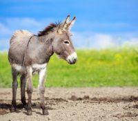 """Un niño llevo a un burro a la escuela porque el profesor le dijo que """"llevará al burro de su padre"""""""