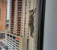 ¿Qué piso sera capaz de alcanzar un mapache?
