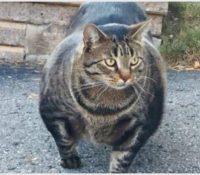 El gato musculoso que arrasa en la Web
