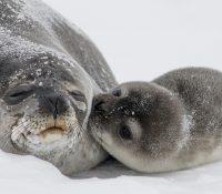 Una invasión de focas hace saltar las alarmas en un pueblo canadiense