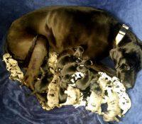 Impresionante: Esta perra ha dado a luz a 19 tiernos cachorros
