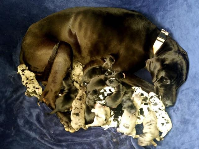 Un gran danés da a luz a 19 cachorros