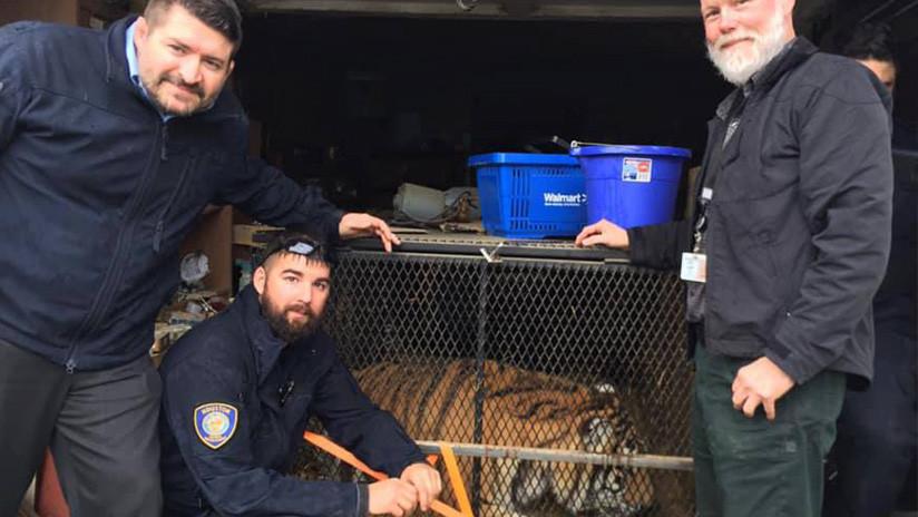 Encuentra un tigre al colarse en un garaje para fumar marihuana