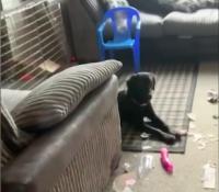 Encuentran a su perro jugando con el dildo del vecino