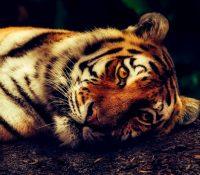 Encuentran un tigre al colarse en un garaje para fumar marihuana