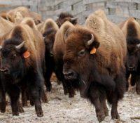 Un bisonte ataca a una pareja