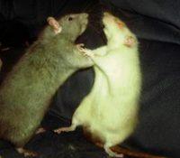 La pandemia del coronavirus fortalece a las ratas en Estados Unidos