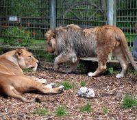 Dos leones atacan a una cuidadora en un Zoo de Australia