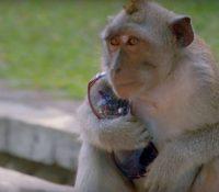 Un grupo de monos roba muestras de sangre con coronavirus en la India