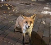 Estudiantes son atacados por un zorro en el campus de su universidad