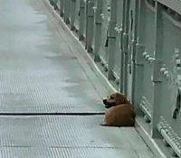 Un perro espera a su dueño en el puente donde se suicidó