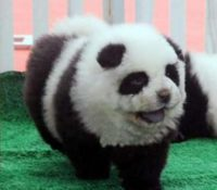 perros-panda