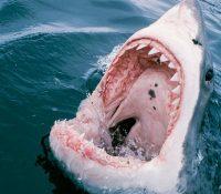 Un buceador muere tras sufrir el ataque de un tiburón en Australia