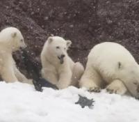 Cachorros de oso polar cazados comiendo plástico en el ártico