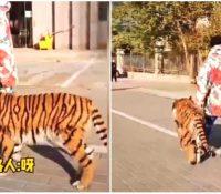 Visto un tigre siendo paseado en plena ciudad