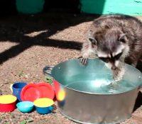 Un mapache doméstico se vuelve viral por su peculiar manera de lavar los platos