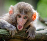 Un mono interrumpe la grabación de un TikTok e intenta robar el móvil