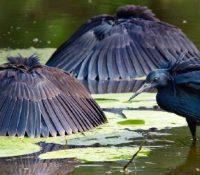 La garza negra y su peculiar caza en forma de 'paraguas' para pescar a sus presas