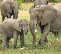 Los elefantes de un zoo formaron un 'escudo' para proteger a sus crías tras oír las sirenas del bombardeo