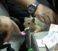 Memocan, la ardilla turca que cuida atentamente una joyería