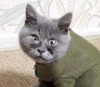Fedia, el gato ruso que enamora a las redes sociales