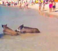 Una manada de jabalíes irrumpe una playa llena de bañistas