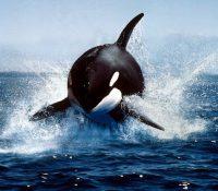 El increíble encuentro entre un buzo y una ballena asesina
